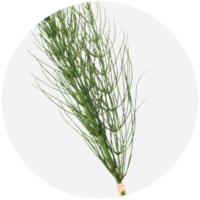 Horsetail Extract (as Horsetail Grass Extract with AC)